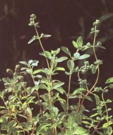 трава майоран фото